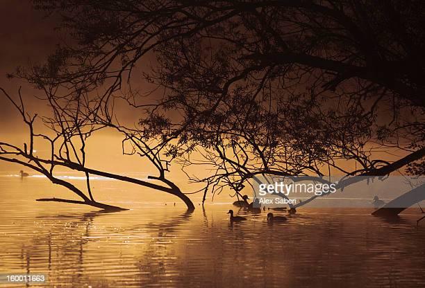 ducks in a richmond park pen pond in the morning. - alex saberi stock-fotos und bilder