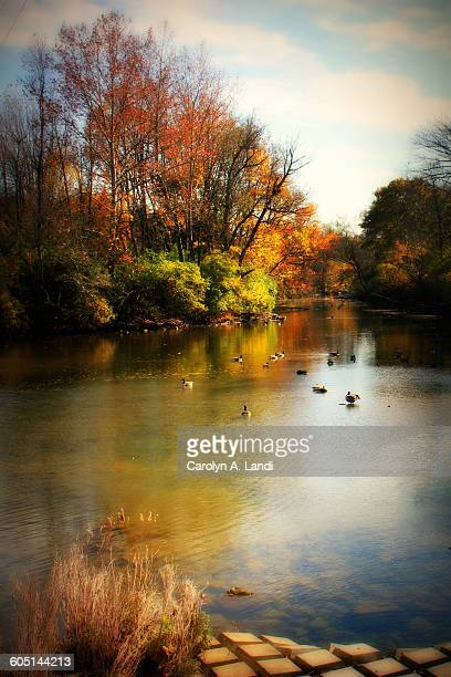 ducks in autumn - bethlehem stock pictures, royalty-free photos & images