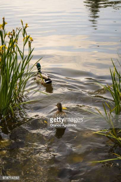 ducks in the lake - special:whatlinkshere/file:lucerne_circle,_orlando,_fl.jpg stock pictures, royalty-free photos & images