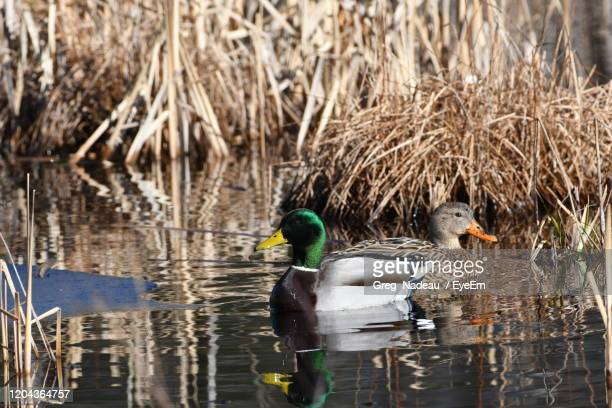 ducks in water - greg nadeau stock pictures, royalty-free photos & images