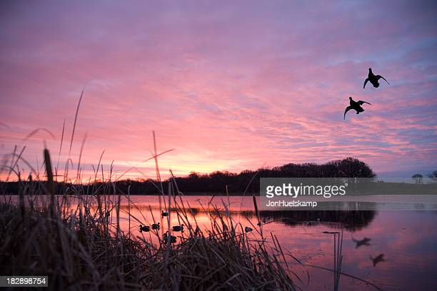 Ducks landing at sunrise