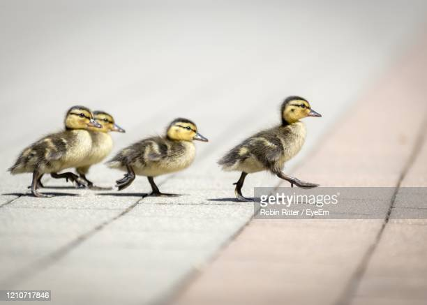 ducks on a floor - duckling stock pictures, royalty-free photos & images