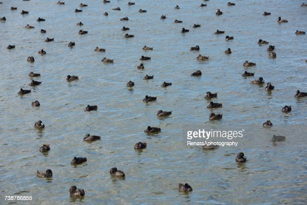 Ducks on a lake, New Zealand
