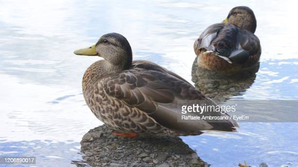 ducks on a lake - muscovy duck stock pictures, royalty-free photos & images