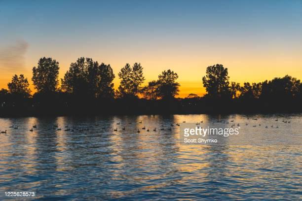 ducks on a pond at sunset - サルニア ストックフォトと画像