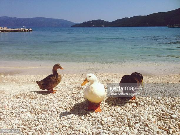 ducks on beach against sky - dave ashwin stock pictures, royalty-free photos & images