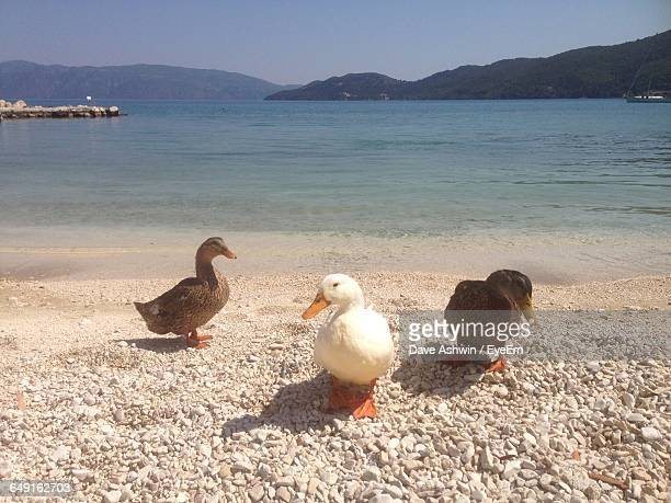 ducks on beach - dave ashwin stock pictures, royalty-free photos & images