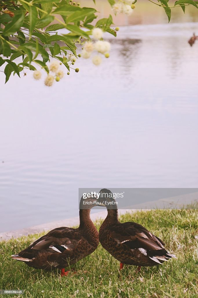 Ducks On Grass By Pond In California State University Campus : Stock Photo