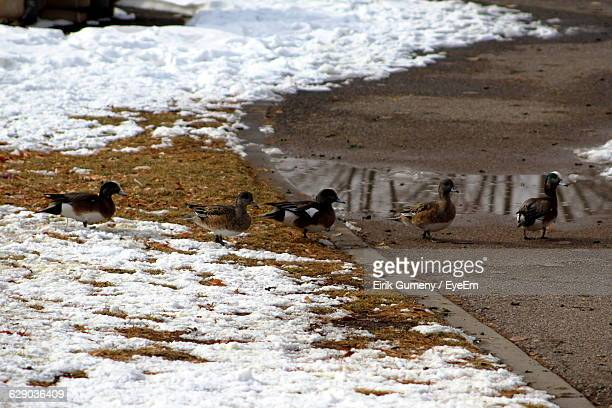 Ducks On Snow Covered Footpath