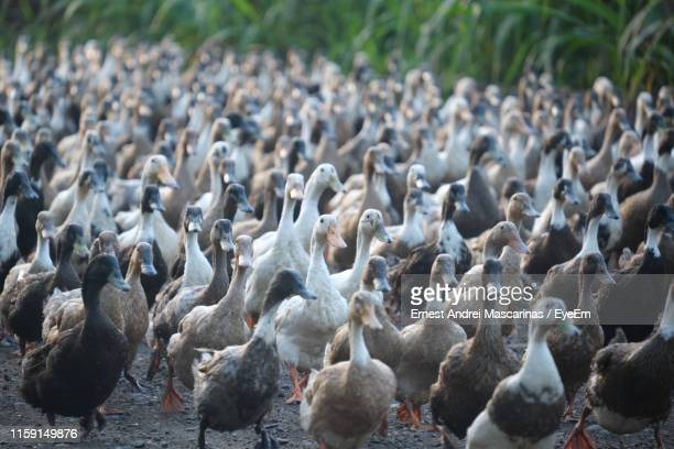 ducks on street - duck bird stock pictures, royalty-free photos & images