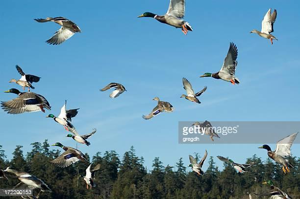 ducks - stormo di uccelli foto e immagini stock