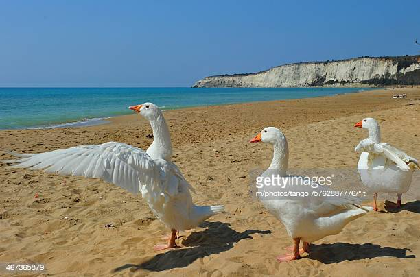 ducks - 翼を広げる ストックフォトと画像