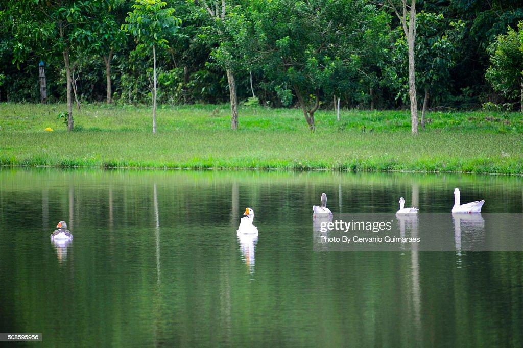 Ducks : Stock-Foto