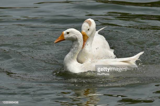Ducks playing at Jurpukhuri pond in Guwahati Assam India on Wednesday September 19 2018