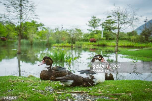 ducks sitting beside pond - ducking stock pictures, royalty-free photos & images