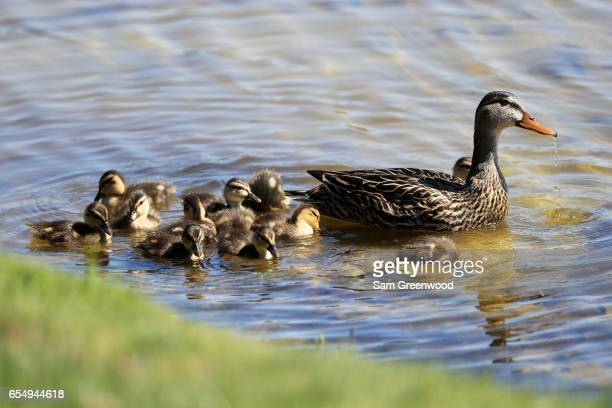 Ducks swim during the third round of the Arnold Palmer Invitational Presented By MasterCard at Bay Hill Club and Lodge on March 18 2017 in Orlando...