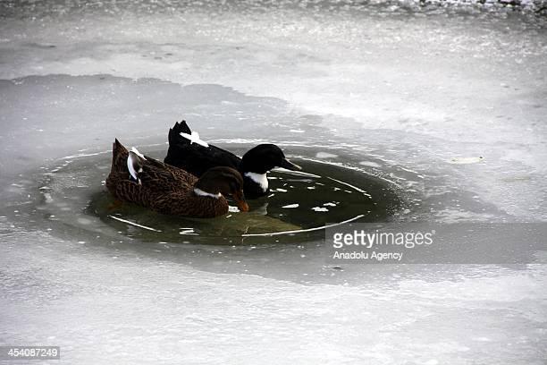 Ducks swim in an partially iced pond on December 7 2013 in Koyulhisar district of Sivas Turkey