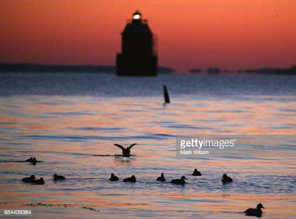 Ducks swim in the frigid waters of the Chesapeake Bay as the Sandy Point Shoal Lighthouse looms in the distance, on March 17, 2017 in Skidmore,...
