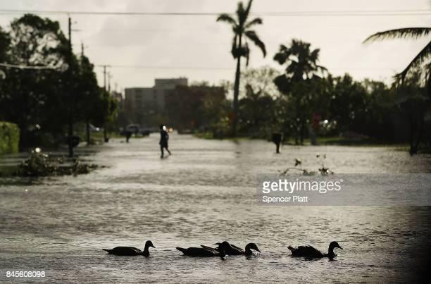 Ducks swim through a street the morning after Hurricane Irma swept through the area on September 11 2017 in Naples Florida Hurricane Irma made...
