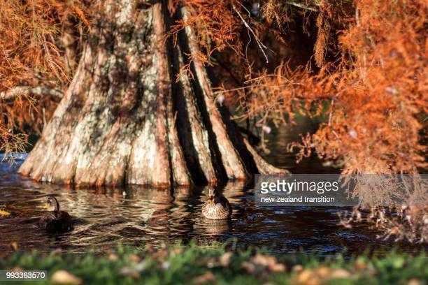 ducks swimming in a pond with bald cypress autumn foliage in late afternoon golden sunlight - bald cypress tree imagens e fotografias de stock