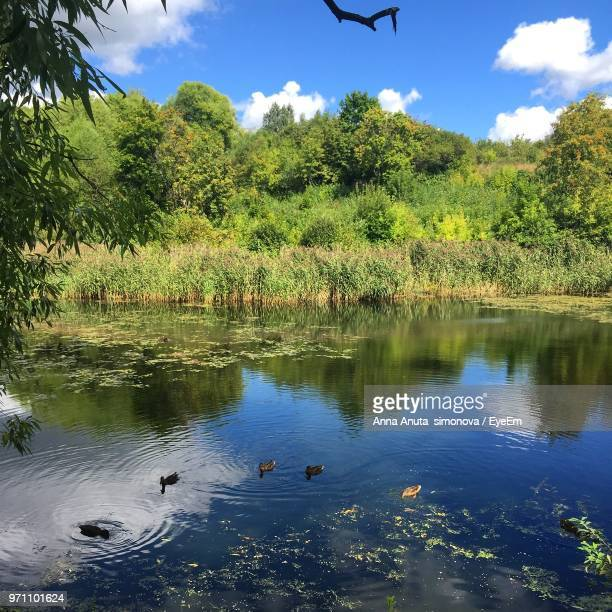 Anuta stock photos and pictures getty images ducks swimming in lake against trees thecheapjerseys Image collections
