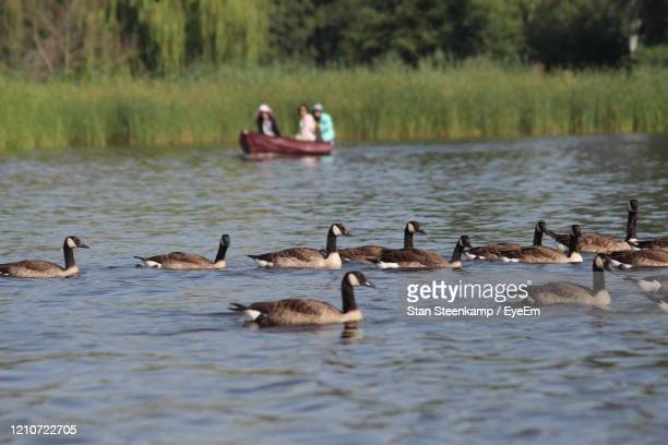ducks swimming in lake - giethoorn stock pictures, royalty-free photos & images