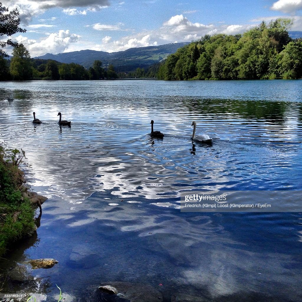Ducks Swimming In Lake : Foto stock