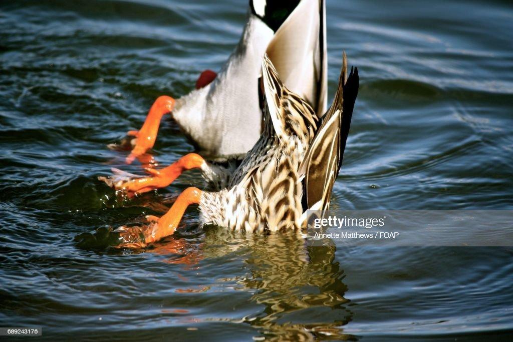 Ducks swimming in lake : Stock Photo