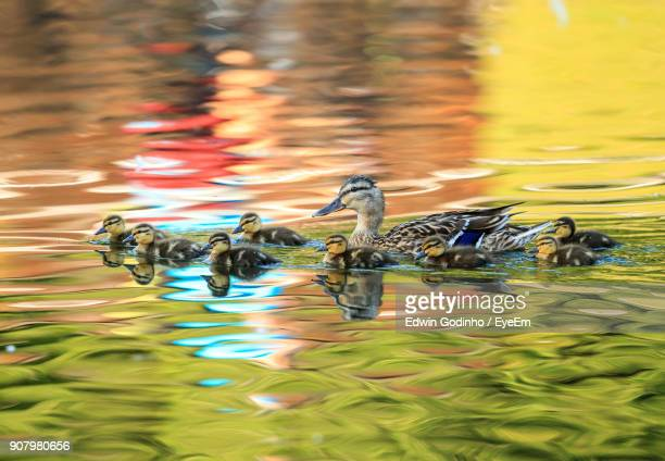ducks swimming in lake - duckling stock pictures, royalty-free photos & images