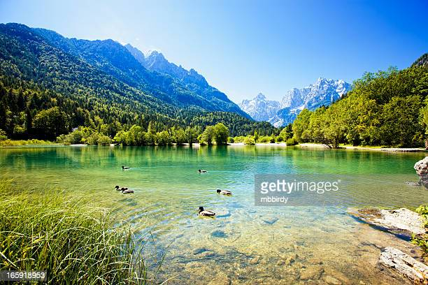 ducks swimming in mountain lake - duck bird stock pictures, royalty-free photos & images