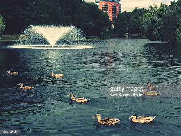 Ducks Swimming In Pond At Central Park