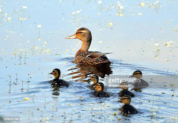 Ducks swimming in pond