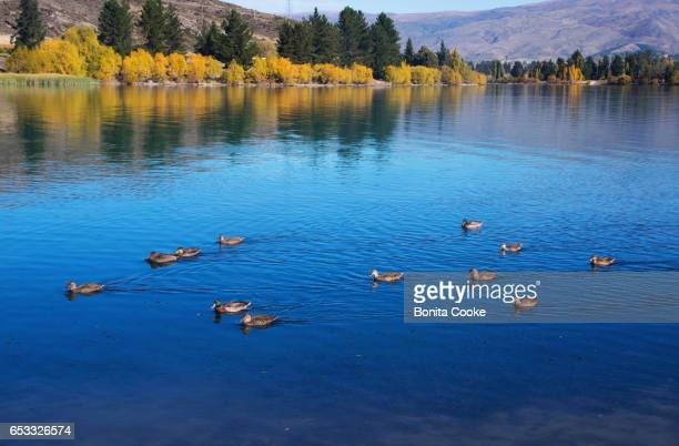 Ducks swimming on Lake Dunstan, Cromwell, in Autumn