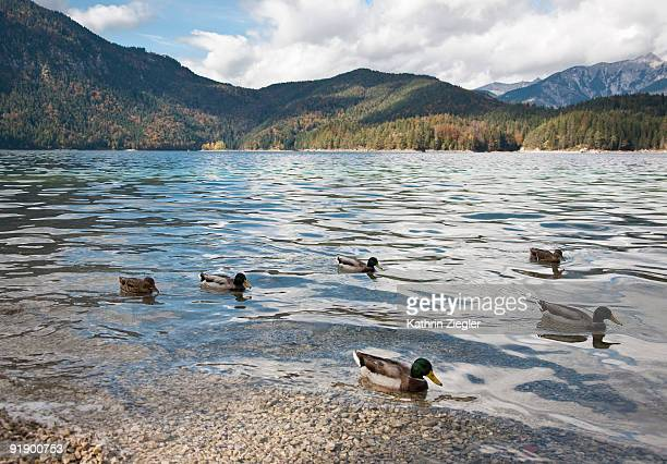 ducks swimming on mountain lake