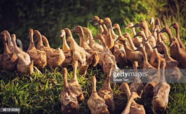 marche de canards dans une rangée du fleuve vers la ferme pendant le coucher du soleil - canard photos et images de collection