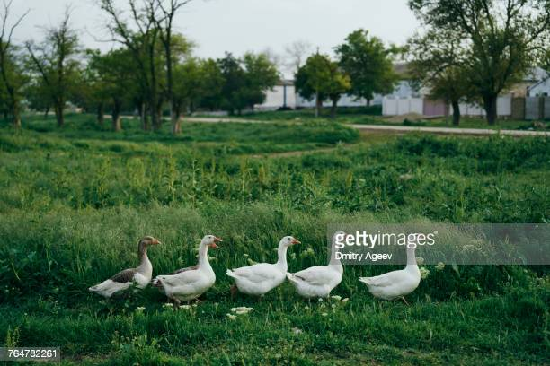 Ducks walking in grass