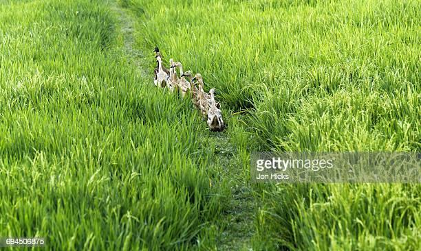Ducks walking in line through a paddy field.