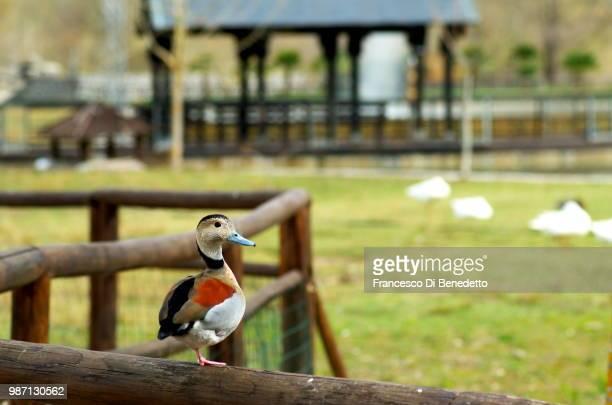 ducky - benedetto photos et images de collection