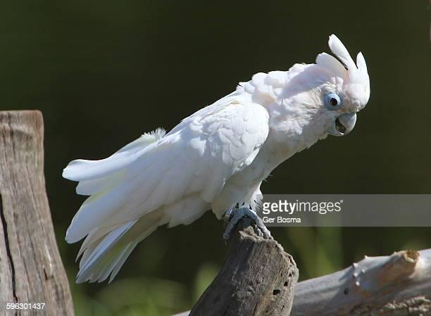 Ducorps' Cockatoo