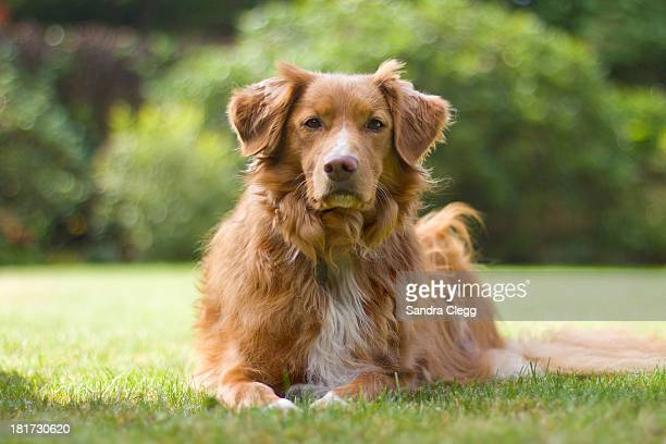 dudley in the garden waiting - nova scotia duck tolling retriever stock pictures, royalty-free photos & images