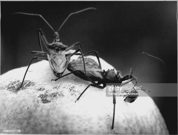 Duel on a lemon the Spied Citrus Bug is overcome by the Assassin Bug introduced to cut its numbers in citrus orchardsThey justly deserve their name...