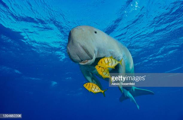 Dugong also called a sea cow is swimming with golden pilot jacks in shallow waters on December 30 2004 near Marsa Alam Egypt Red Sea Dugong is an...
