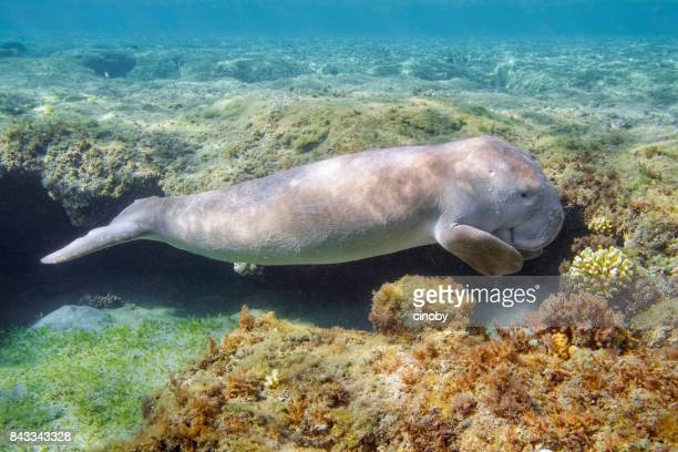 dugong baby or sirenia calf in red sea - marsa alam - egypt - dugong stock pictures, royalty-free photos & images