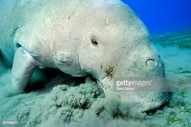 dugong (dugong dugon) eating posidonia oceanica - dugong stock pictures, royalty-free photos & images