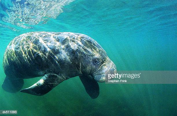 dugong or seacow - dugong stock pictures, royalty-free photos & images