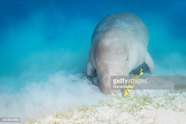 dugong - dugong stock pictures, royalty-free photos & images