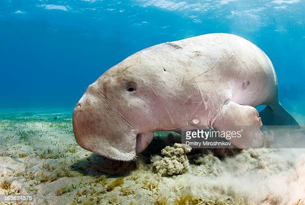 dugong portait - dugong stock pictures, royalty-free photos & images