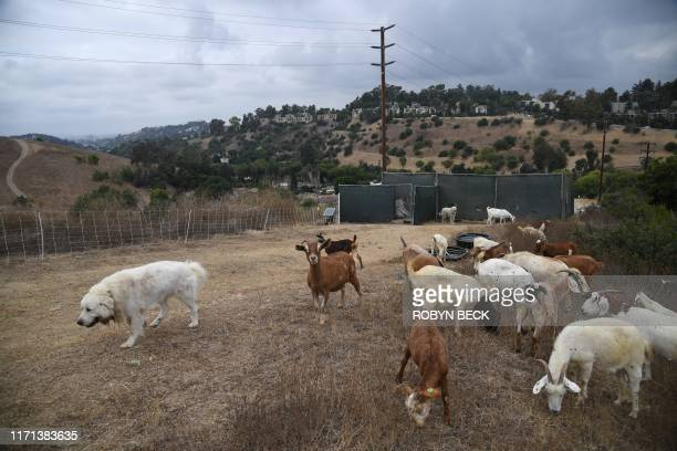 Duke , a Great Pyrenees dog, watches over goats grazing on a hillside as part of fire prevention efforts, September 26, 2019 in South Pasadena,...