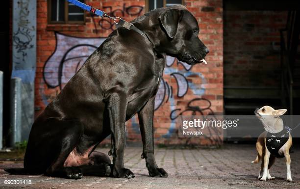 MELBOURNE VIC 'Duke' the Great dane mastiff towers over 'Mickey Rourke' the Chihuahua at the Barkly Barks Dog festival at Barkly Square in Melbourne...
