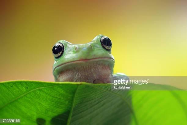 Dumpy frog sitting on a leaf, Indonesia